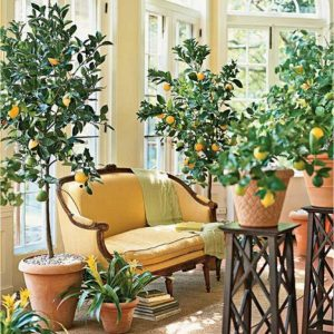 Indoor-Citrus-Trees